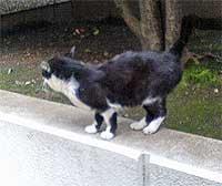 渋谷の猫 白黒~