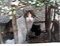 渋谷の猫 トラ